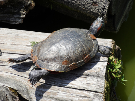 carapace: The dried turtle carapace of Sarusawa pond