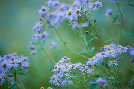 plateau of flowers: Nokongiku Stock Photo