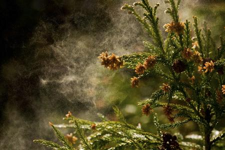 cedro: Cedar polen
