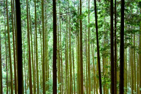 hinoki: Coniferous forest