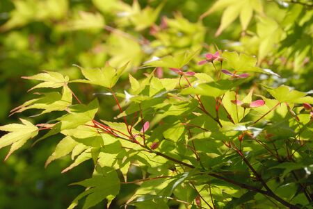 aceraceae: Fruit of maple Stock Photo