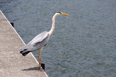 ardeidae: Grey heron Stock Photo