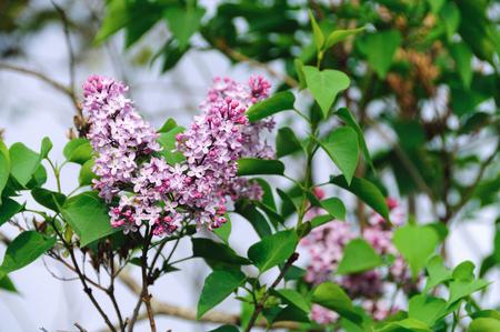 reticulata: Lilac
