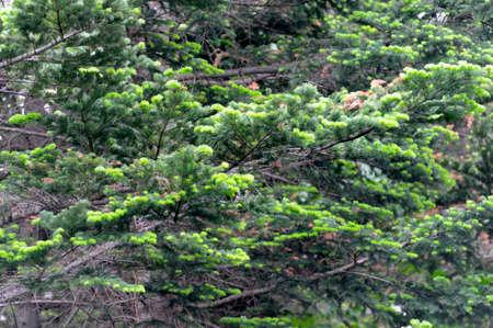 pinaceae: Fresh green fir