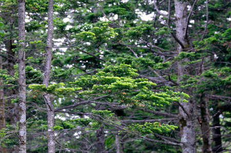 pinaceae: Fresh green fir
