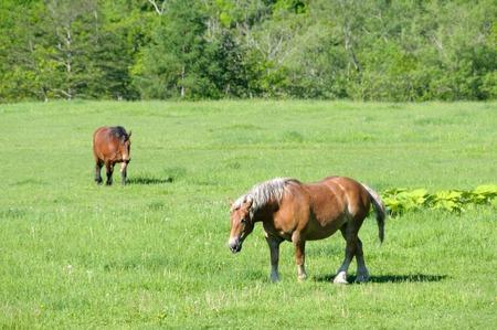 grazing: Horses grazing Stock Photo