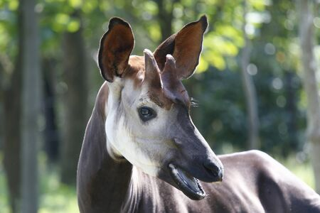 living organism: Okapi Stock Photo