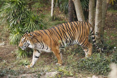 sumatran tiger: Sumatran tiger