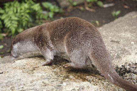 otter: Eurasian Otter