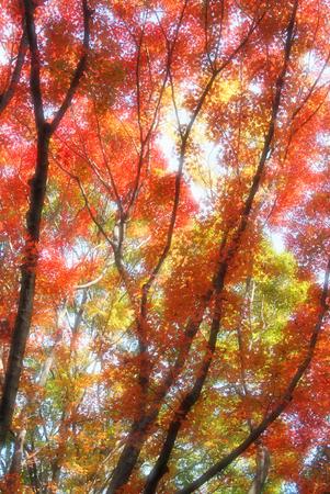 yeşillik: Maple foliage