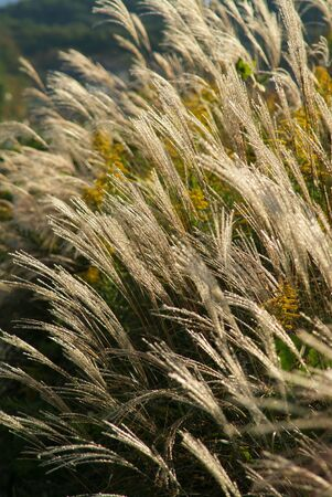 waver: Japanese pampas grass
