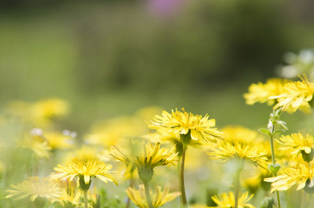 sweet grasses: Dandelion