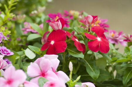 strata: Catharanthus roseus Stock Photo