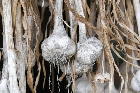 dry provisions: Garlic