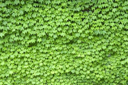 신선한 녹색 담쟁이