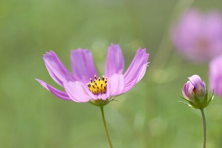 bushy plant: Cosmos Stock Photo