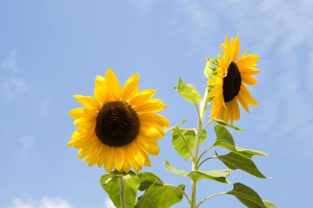bushy plant: Sunflower