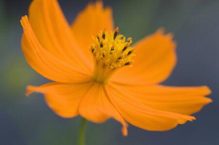 bushy plant: Cosmos sulphureus