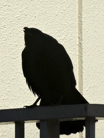 verandah: Urban crow perched on the handrail of the apartment balcony