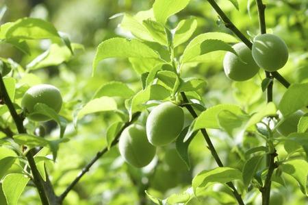 ciruela: Ciruela verde