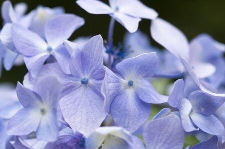 bushy plant: Hydrangea