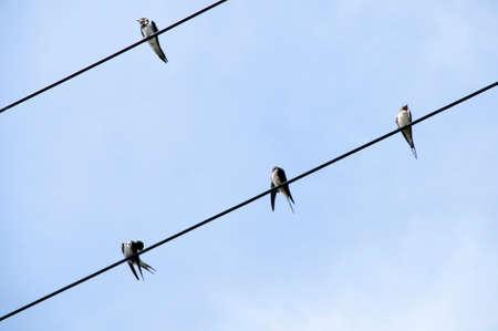 golondrina: Swallow Foto de archivo