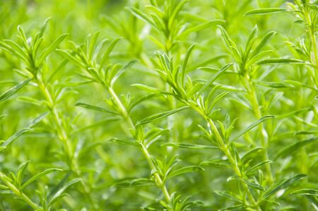 Summer Savory over
