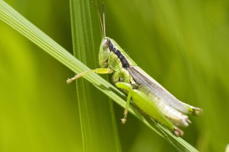 grasshoppers: Rice and grasshoppers