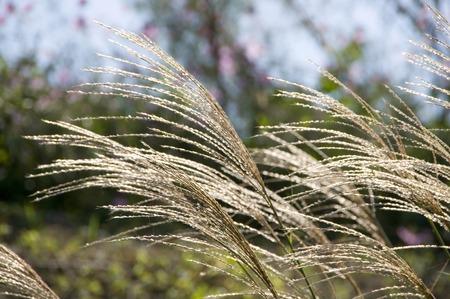 wavering: Japanese pampas grass