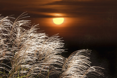 diluted: Japanese pampas grass