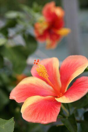 ie: Hibiscus flowers