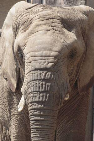 mammalian: African elephants