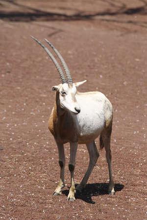 oryx: White Oryx