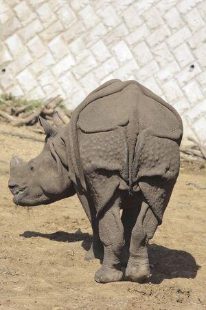 mammalian: Indian Rhinoceros