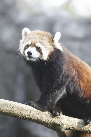 living thing: Red Panda Stock Photo