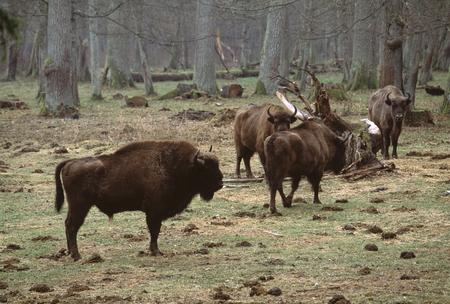 european: European bison Stock Photo