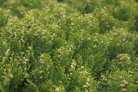 chlorophyll: Green Ueki