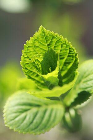 chlorophyll: Aoba