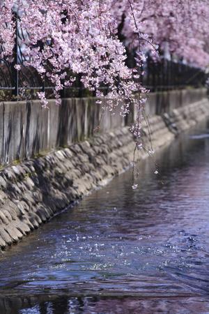 kanagawa: Weeping cherry tree