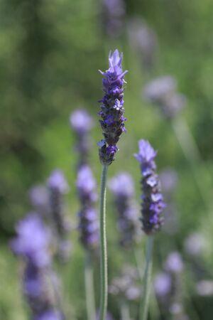 disperse: Lavender Stock Photo