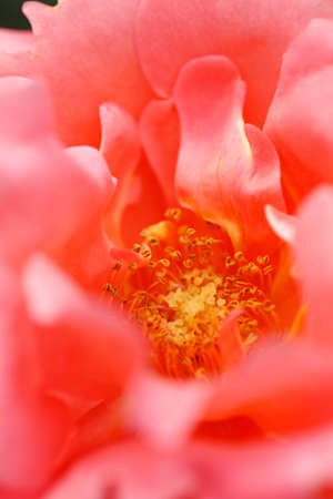 florid: Rose