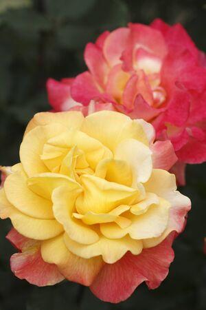 florid: Rose close up Stock Photo