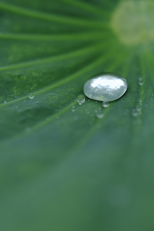 trickle: Drops of water on a Lotus leaf