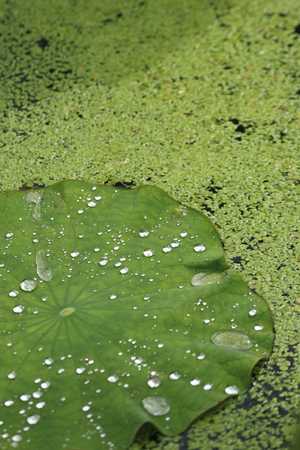 surface tension: Drops of water on a Lotus leaf