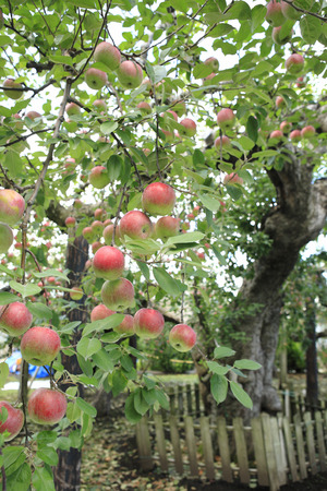 oldest: Tree of Japans oldest apple