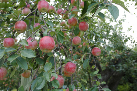 日本最古のりんごの樹