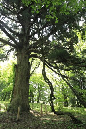 shirakawa: Cedar Sekiato accordance second place of Shirakawa Stock Photo