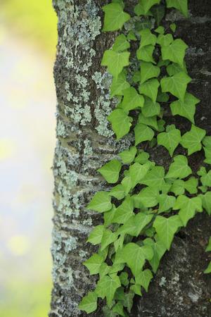 haiku: Green at the back alley in chusonji Temple