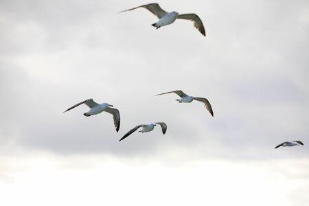 the seagulls: Flying seagulls Stock Photo