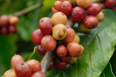 コーヒー果実
